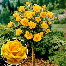 Trandafir tip pomisor Golden Delight