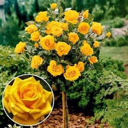 Trandafir tip pomisor Golden Delight - Trandafiri - AgroDenmar.ro