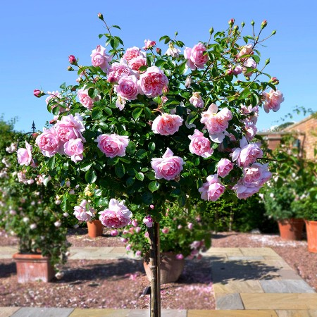Trandafir tip pomisor Kimono - Trandafiri - AgroDenmar.ro