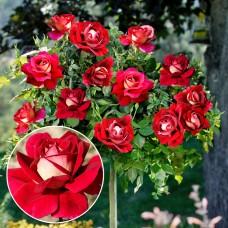 Trandafir tip pomisor Kronenbourg
