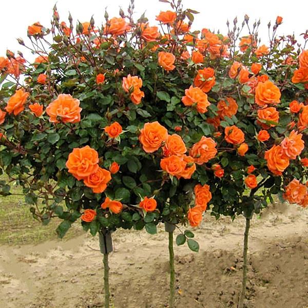 Trandafiri - Trandafir tip pomisor Monica