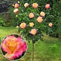 Trandafir tip pomisor Orient Express