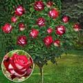 Trandafir tip pomisor Osiria