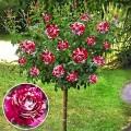 Trandafir tip pomisor Rosa Mystica
