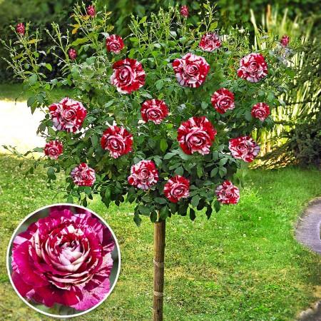 Trandafir tip pomisor Rosa Mystica - Trandafiri - AgroDenmar.ro