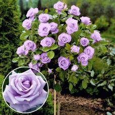 Trandafir tip pomisor Sterling