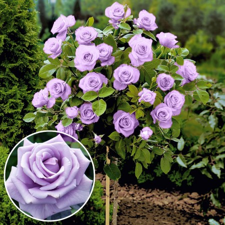 Trandafir tip pomisor Sterling - Trandafiri - AgroDenmar.ro
