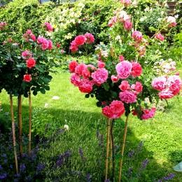 Trandafir tip pomisor Uetersen - in Ghiveci - Trandafiri - AgroDenmar.ro