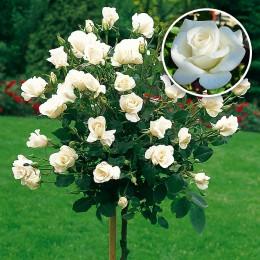 Trandafir tip pomisor Virgo - Trandafiri - AgroDenmar.ro