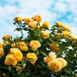 Trandafir Tournee - Trandafiri - AgroDenmar.ro