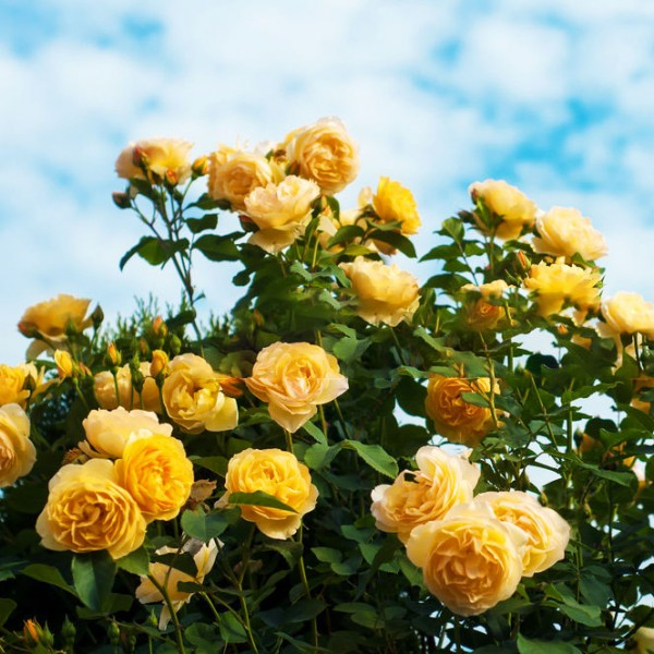 Trandafiri - Trandafir Tournee