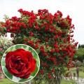 Trandafir urcator Amadeus