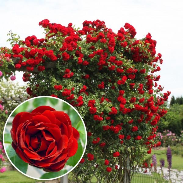 Trandafir urcator Amadeus - Trandafiri - AgroDenmar.ro