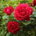 Trandafir urcator Blase Superior