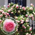 Trandafir urcator Eden Rose 85