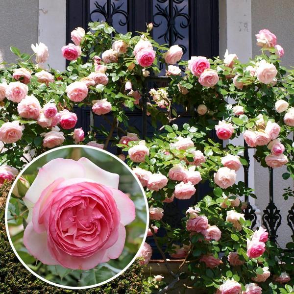Trandafir urcator Eden Rose 85 - Trandafiri - AgroDenmar.ro
