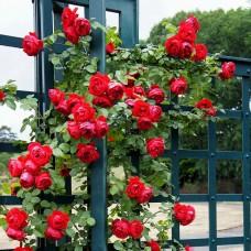Trandafir urcator Florentina