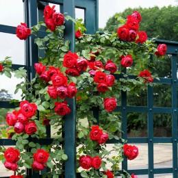 Trandafir urcator Florentina - Trandafiri - AgroDenmar.ro