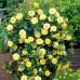 Trandafir urcator Golden Showers - Trandafiri - AgroDenmar.ro