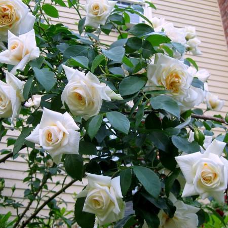 Trandafir urcator Ilse Krohn Superior - Trandafiri - AgroDenmar.ro