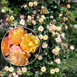 Trandafir urcator Moonlight - Trandafiri - AgroDenmar.ro