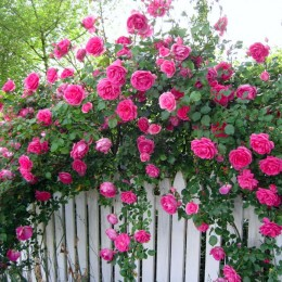 Trandafir urcator Parade - Trandafiri - AgroDenmar.ro