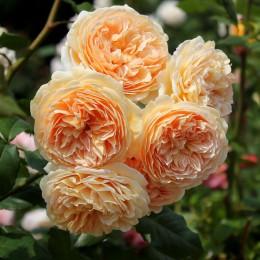 Trandafir urcator Polka - Trandafiri - AgroDenmar.ro