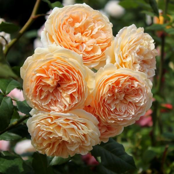 Trandafiri - Trandafir urcator Polka