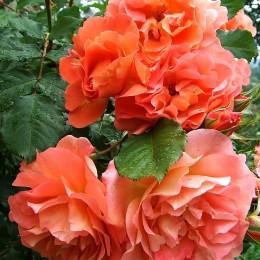 Trandafir urcator Westerland