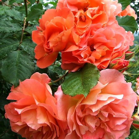 Trandafir urcator Westerland - Trandafiri - AgroDenmar.ro
