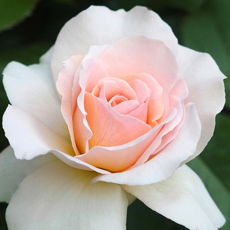 Trandafir Vivaldi - Trandafiri - AgroDenmar.ro