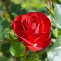Trandafir Wettra