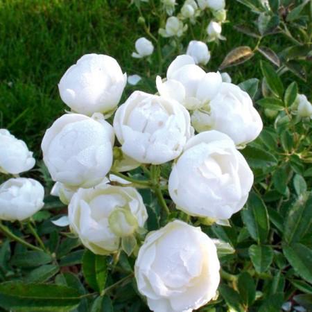 Trandafir pitic White Morsdag - Trandafiri - AgroDenmar.ro