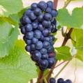Vita de vie Pinot Noir