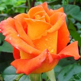 Trandafir Monica - Trandafiri - AgroDenmar.ro
