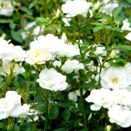 Trandafir de parc Kent - Trandafiri - AgroDenmar.ro
