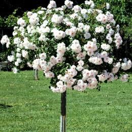 Trandafir tip pomisor alb curgator - Trandafiri - AgroDenmar.ro