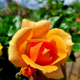 Trandafir tip pomisor Portocaliu