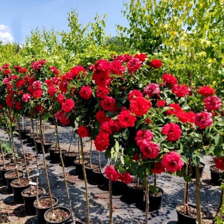 Trandafir tip pomisor rosu - Trandafiri - AgroDenmar.ro