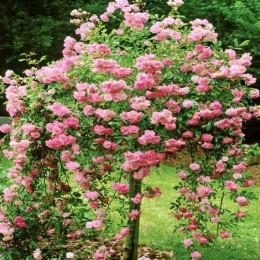Trandafir tip pomisor roz curgator - Trandafiri - AgroDenmar.ro
