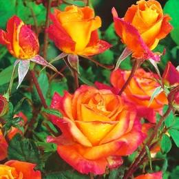 Trandafir tip pomisor Samba