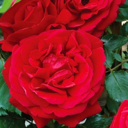Trandafir urcator Rosu - Trandafiri - AgroDenmar.ro