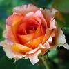 Trandafiri Teahibrizi pret avantajos - Cumpara online