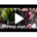 Salcie Mount Aso - Arbori ornamentali - AgroDenmar.ro